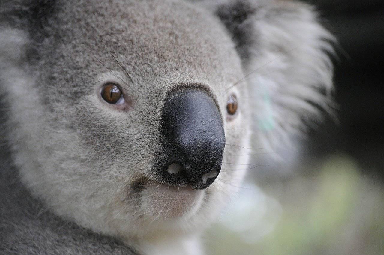 koala-630117_1280